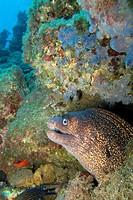 Moray eel, Muraena helena, Cabo Cope Puntas del Canegre Natural Park, Mediterranean Sea, Murcia, Spain, Europe