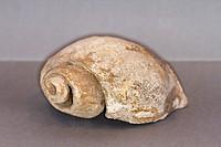 Gastropod fossil, Fossilized mollusk.
