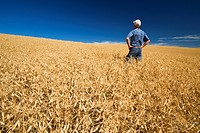 a farmer in a mature, harvest ready dry pea field near Swift Current, Saskatchewan, Canada