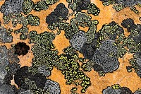 Rock lichen colonies on boulders brought down by a landslide