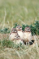 Burrowing owl Athene cunicularia chicks at a burrow on the Canadian Prairies