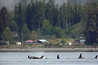 killer whale Orcinus orca, commonly referred to as the orca whale or orca pod in the Inside Passage, BC, Canada