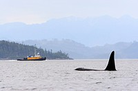Killer whale Orcinus orca, commonly referred to as the orca whale or orca and tugboatin Johnstone Strait, BC, Canada