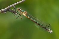 Emerald Spreadwing, Lestes dryas, at Spencer´s Bog, Langford BC
