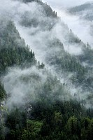 A scenic landscape image of conifer trees growing on the sides of the steep coastal mountains of British Columbia near the town of Stewart on a wet mi...