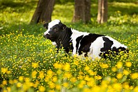 Young cow relaxing in a field of wildflowers near Nashville Tennessee, USA
