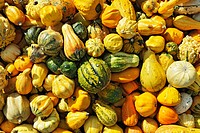 Ornamental Gourds (Cucurbita pepo)