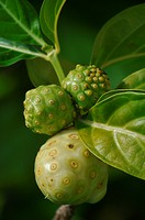 San Blás Panama: Noni fruit Morinda citrifolia, commonly known as great morinda, Indian mulberry, nunaakai Tamil Nadu, India, dog dumpling Barbados, m...