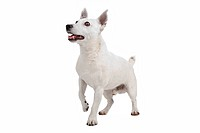 white Jack Russel Terrier