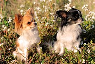 portrait of two cute purebred chihuahua in a field