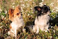 portrait of two cute purebred chihuahua in a field
