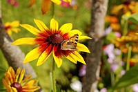 Yellow red chrysanthemum with butterfly in nature
