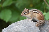 Eastern Chipmunk sitting on a rock, Ontario