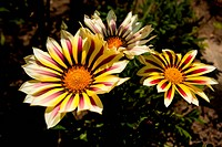 Yellow Gazania in nature close up