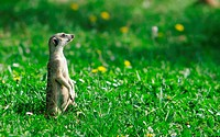 Meercat on the green meadow
