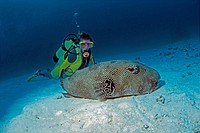 Star puffer, starry toadfish (Arothron stellatus), Maldives, Indian Ocean, Asia