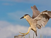 Black Crowned Night Heron Saskatchewan Canada