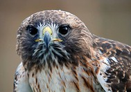Close_up portrait of red tailed hawk