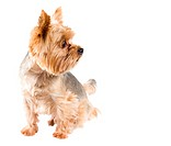 Male adult yorkshire terrier isolated on white background.