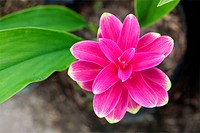 Siam tulip flower