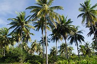 Palm grove on Andaman Beach, Ko Jum or Koh Pu island, Krabi, Thailand, Southeast Asia