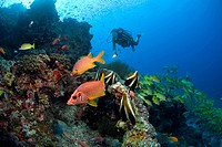 Divers in a colorful coral reef with fish, Sabre Squirrelfish (Sargocentron spiniferum), Maldives, Indian Ocean, Asia