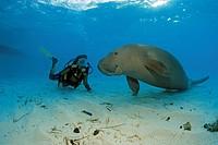 Scuba diver with a Dugong (Dugong dugong), Borneo, Malaysia, Indo-Pacific Ocean, Asia