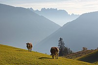 Cows on Lobersberg mountain, Moelltal valley, Carinthia, Austria, Europe