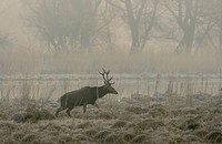 Red Deer (Cervus elaphus), morning fog, Danube wetlands, Donau Auen National Park, Lower Austria, Austria, Europe