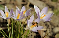 Honey Bee (Apis sp.) on Crocus (Crocus), Lower Austria, Austria, Europe