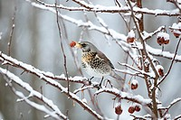 Fieldfare (Turdus pilaris) perched on a crabapple tree in a garden in the snow, Germany, Europe