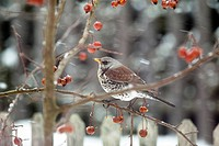 Fieldfare Turdus pilaris perched on a crabapple tree in a garden in the snow, Germany, Europe
