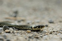 Grass snake Natrix natrix, floodplains of the Danube, Lower Austria, Austria, Europe
