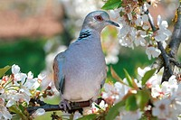European Turtle Dove Streptopelia turtur on a cherry tree