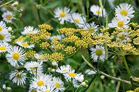 Bronze fennel Foeniculum vulgare and Fleabane Erigeron annuus flowering in Summer.