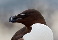 Razorbill head. Razorbills Alca torda are colonial seabirds that only come to land in order to breed. They are the largest living member of the Auk fa...