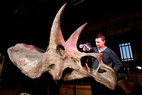 Triceratops fossil, 3D scanning. Researcher using a handheld laser scanner to obtain 3D imaging data for a Triceratops horridus fossil skull, found in...