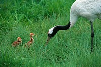 Parental Japanese Crane