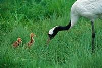 Parental Japanese Crane