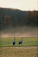 Red_crowned cranes in marsh