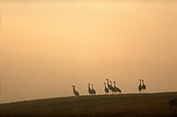 Flock of red_crowned cranes and fog