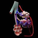 Human alveoli, computer artwork.