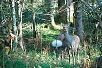 Yezo Deer