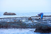 Picking seaweed and Brant geese