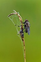 Fly (Brachycera), wetted with water drops, Vulkaneifel, Rhineland-Palatinate, Germany, Europe