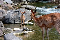 Hokkaido Sika Deer