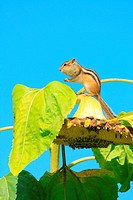Chipmunk and sunflower