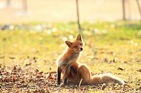 Ezo red fox on autumn leaves