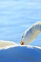 Whooper Swan