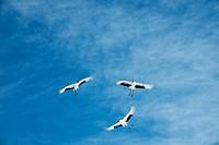 Red_crowned cranes